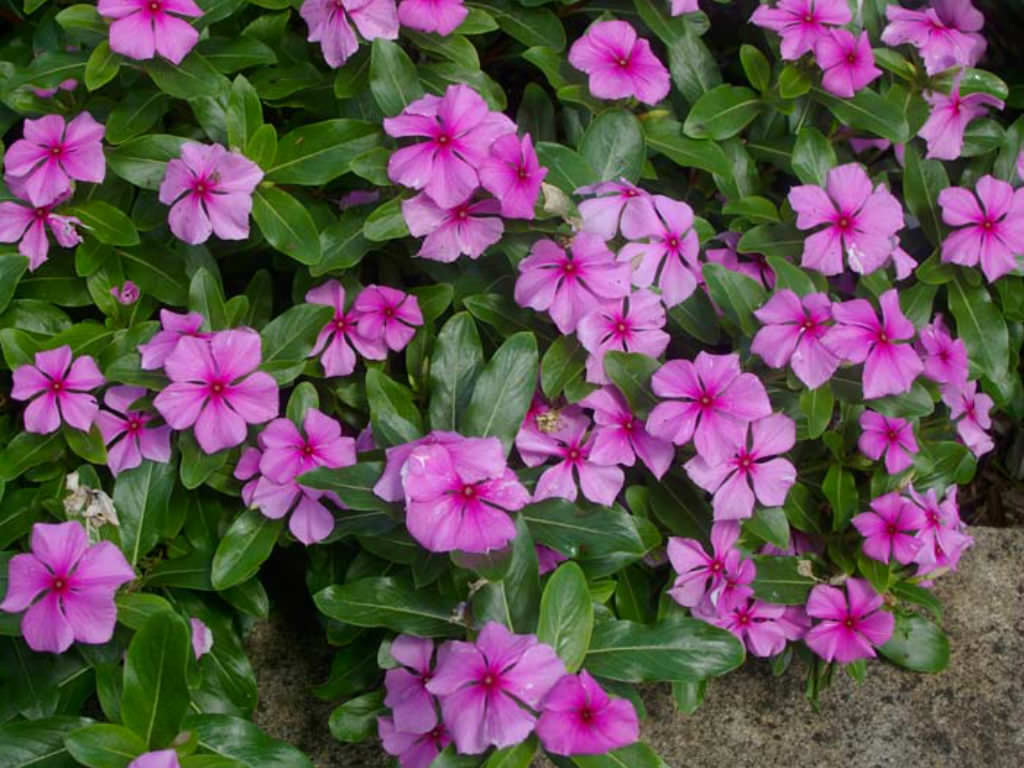 Catharanthus roseus - Madagascar Periwinkle | World of