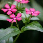 Catharanthus trichophyllus