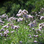 Cirsium arvense - Creeping Thistle Canada Thistle