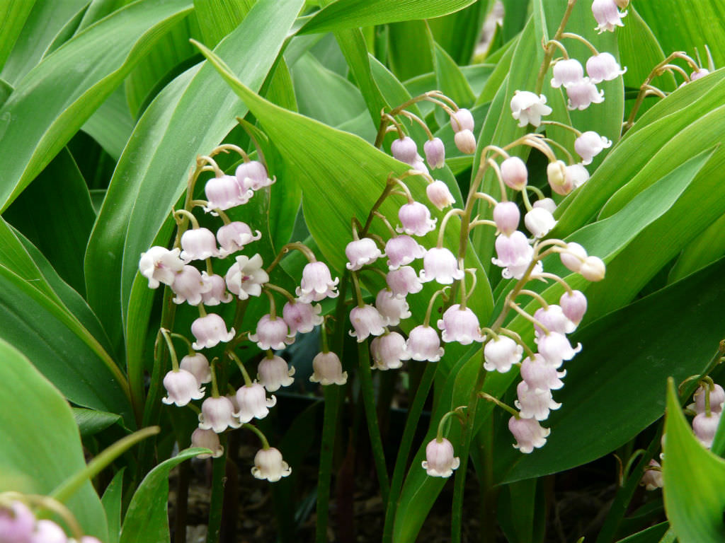 Convallaria majalis var. rosea - Pink Lily of the Valley ...