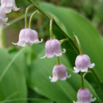 Convallaria majalis var. rosea - Pink Lily of the Valley