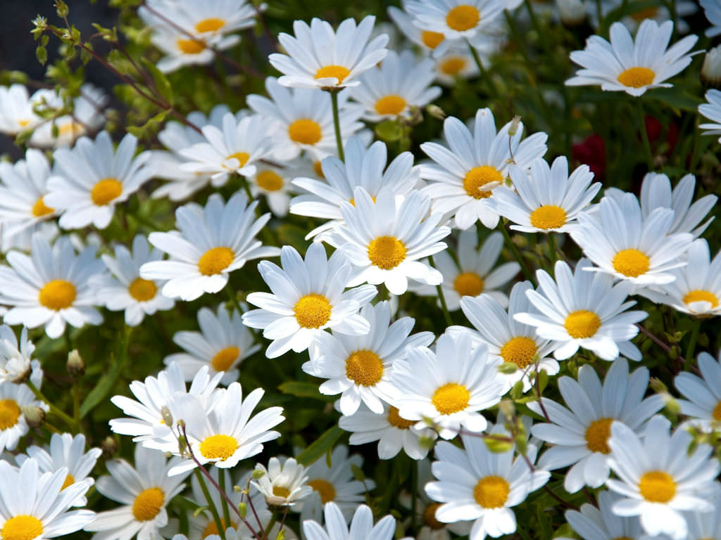 Top 10 facts about daisies world of flowering plants izmirmasajfo
