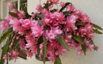 Disocactus phyllanthoides - German Empress