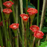 Etlingera corneri - Rose of Siam