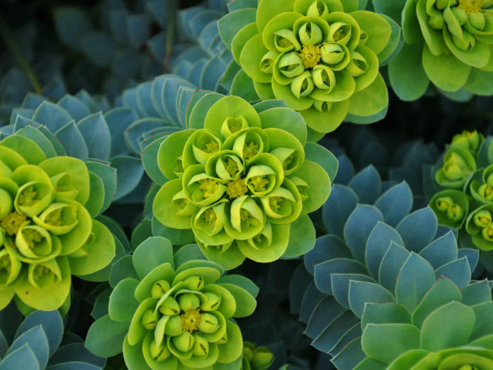Euphorbia myrsinites - Myrtle Spurge