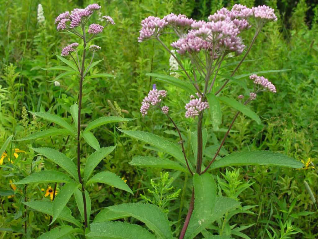 Eutrochium maculatum spotted joe pye weed world of for Joe pye weed