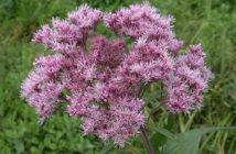 Eutrochium maculatum - Spotted Joe-Pye Weed