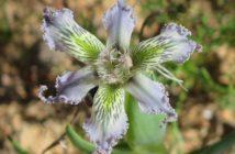 Ferraria ferrariola - Spider Iris