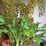 Grammatophyllum scriptum - Bell Orchid