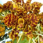 Grammatophyllum speciosum - Tiger Orchid