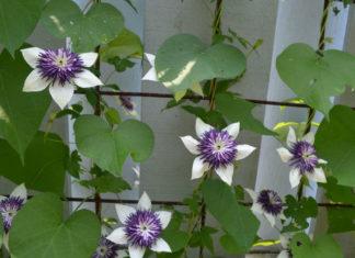 Liana (Clematis florida 'Sieboldii')