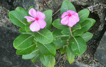 Lithophyte (Catharanthus roseus)