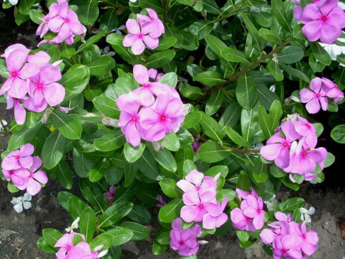 Madagascar Periwinkle (Catharanthus roseus)
