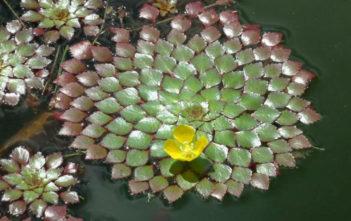 Mosaic Plant (Ludwigia sedoides)