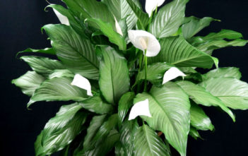 Peace Lilies (Spathiphyllum)