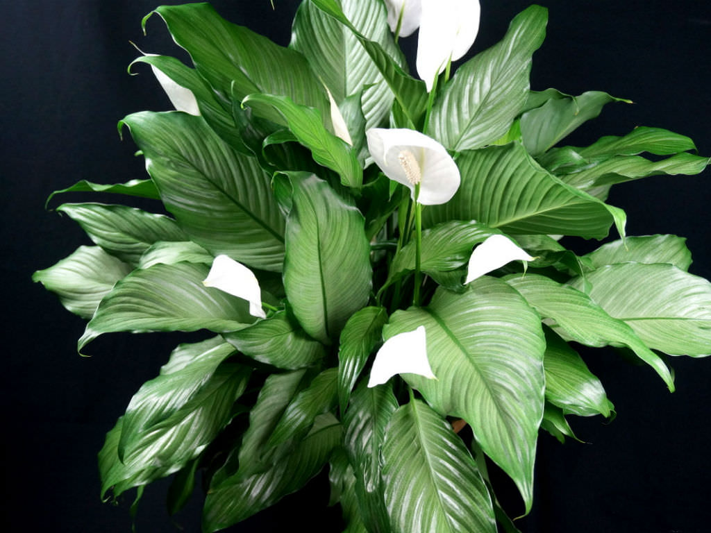 How To Grow And Care For Peace Lilies Spathiphyllum World Of