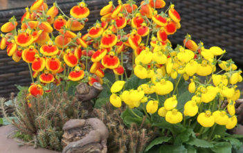 Pocketbook Plants (Calceolaria)