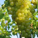 Vitis vinifera - Common Grape Vine