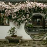 Clematis armandii - Evergreen Clematis