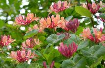 Climbing Plant (Lonicera x heckrottii)