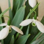 Galanthus elwesii - Greater Snowdrop
