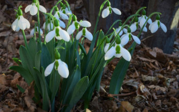 Galanthus elwesii - Greater Snowdrop