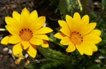 Gazania rigens - Treasure Flower
