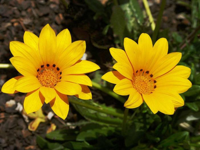 Gazania rigens - Treasure Flower
