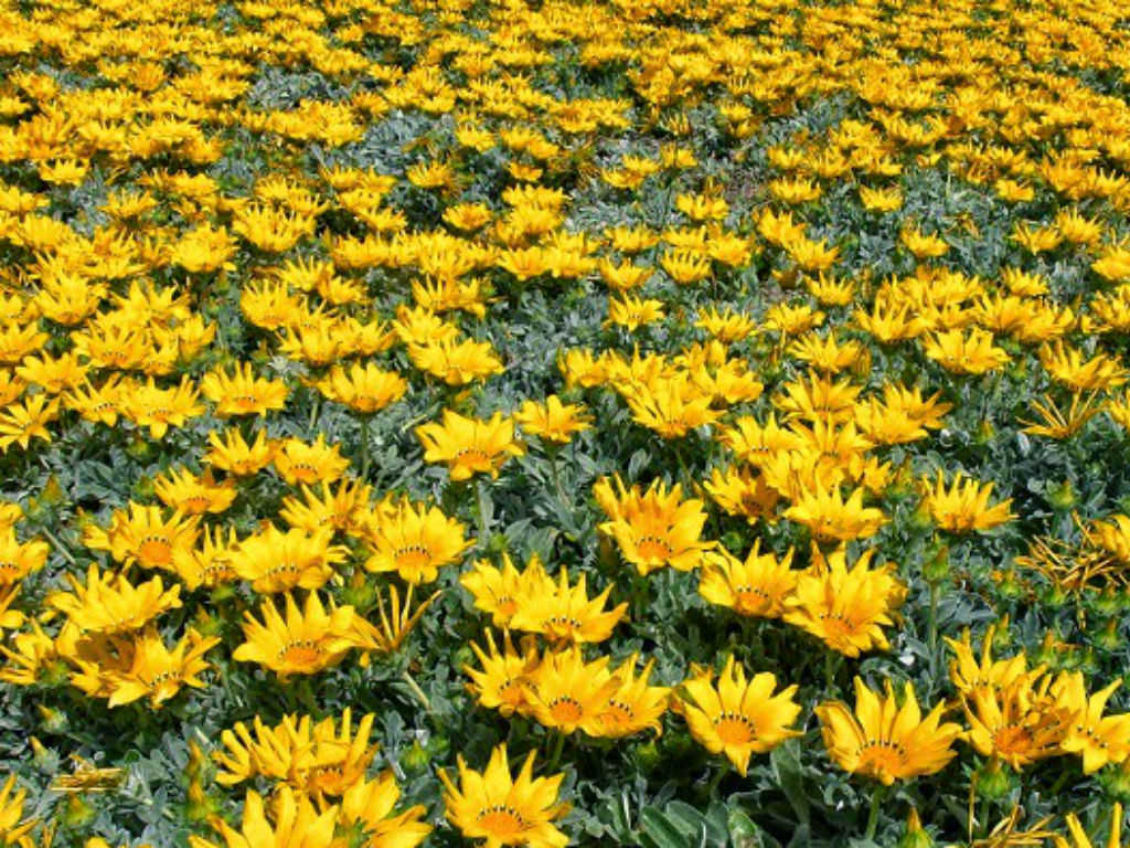 Gazania rigens - Treasure Flower | World of Flowering Plants