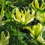 Gloriosa superba 'Greenii' - Gloriosa Lily