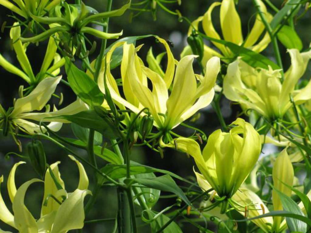 Gloriosa Superba Greenii Gloriosa Lily World Of