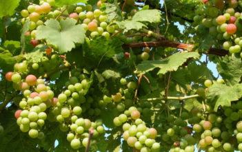 Grapevines (Vitis vinifera)