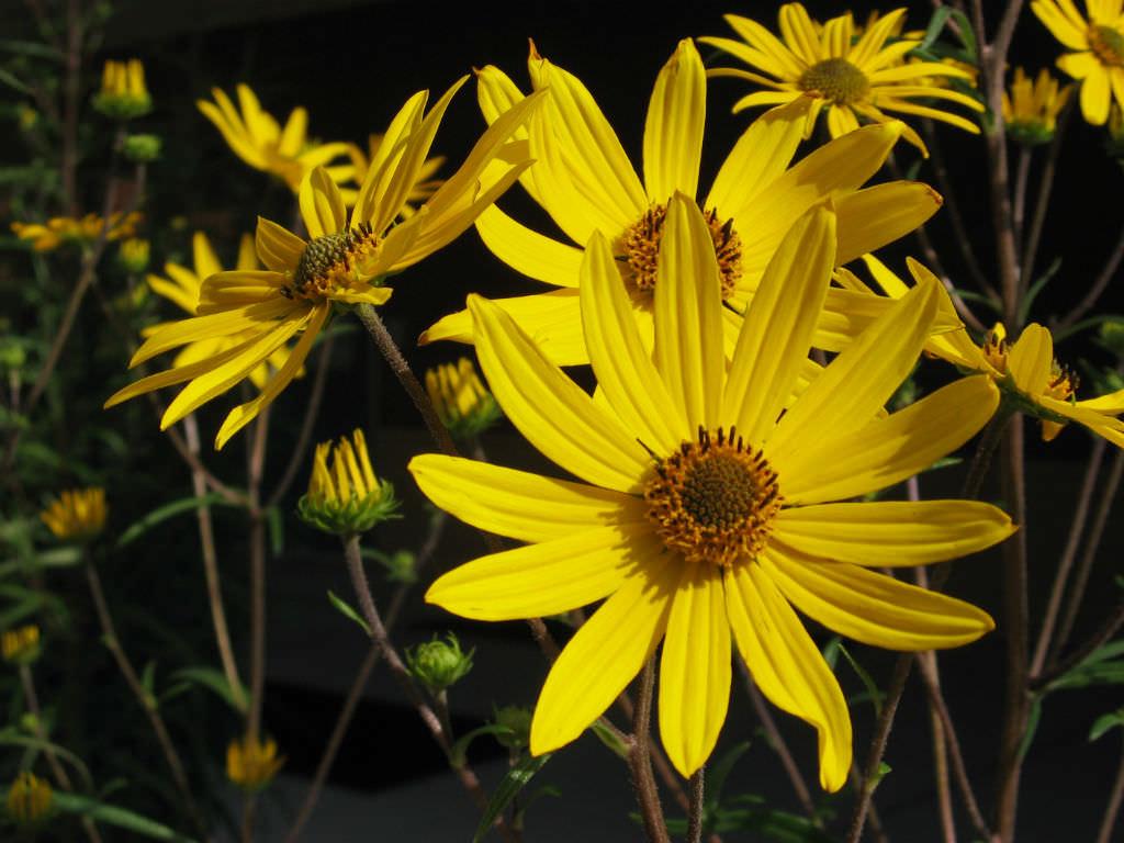 Helianthus Angustifolius Swamp Sunflower World Of Flowering Plants