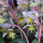 Helleborus lividus - Majorcan Hellebore