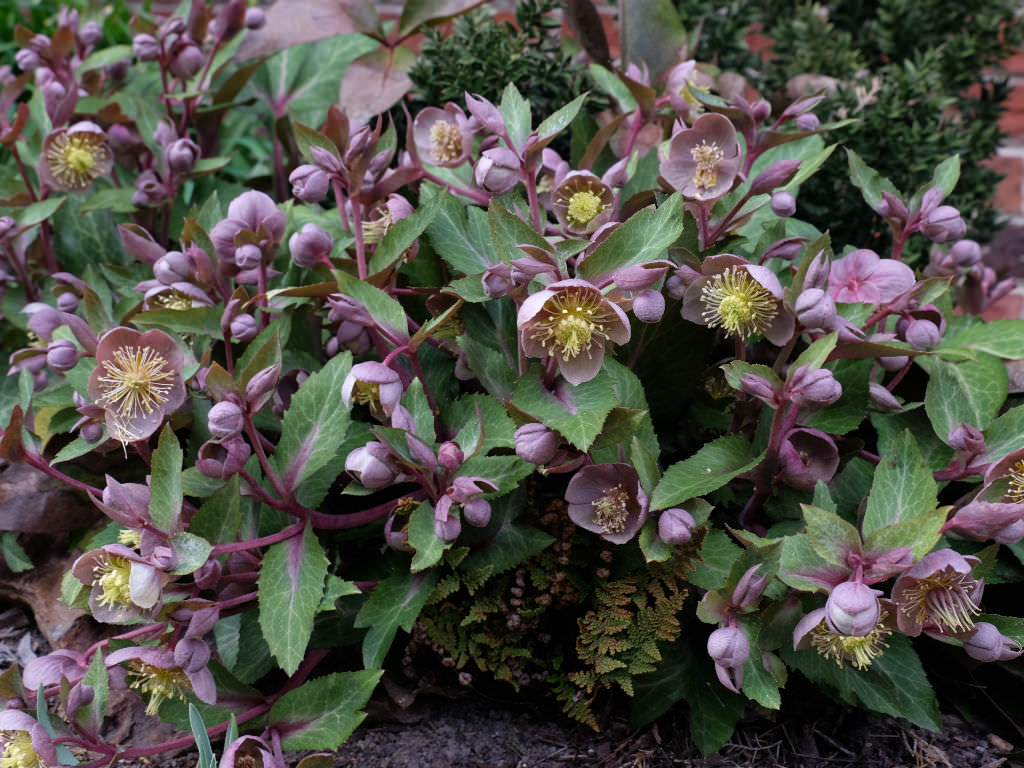 helleborus lividus  majorcan hellebore