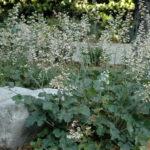 Heuchera maxima - Island Alum Root