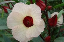 Hibiscus sabdariffa - Roselle
