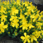 Hypericum olympicum - Mount Olympus St. John's Wort