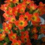 Kalanchoe blossfeldiana - Flaming Katy