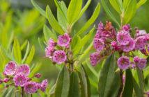 Kalmia angustifolia - Sheep Laurel