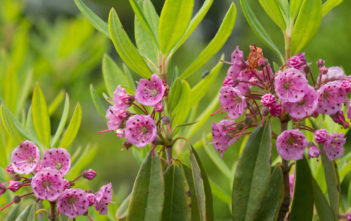 Kalmia angustifolia - Sheep Laurel