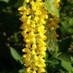 Laburnum alpinum - Scotch Laburnum