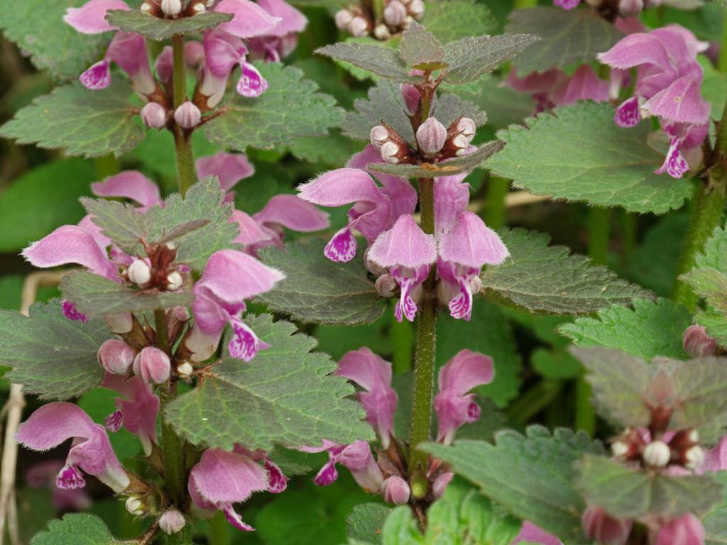 Les Plantes sauvages comestibles et médicinales Lamium-maculatum-Spotted-Dead-Nettle2