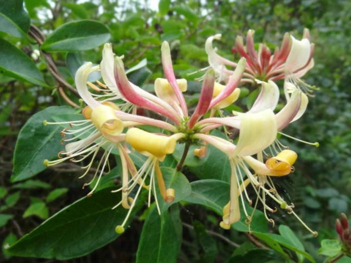 Lonicera periclymenum - Common Honeysuckle