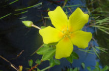 Ludwigia peploides - Floating Primrose-willow
