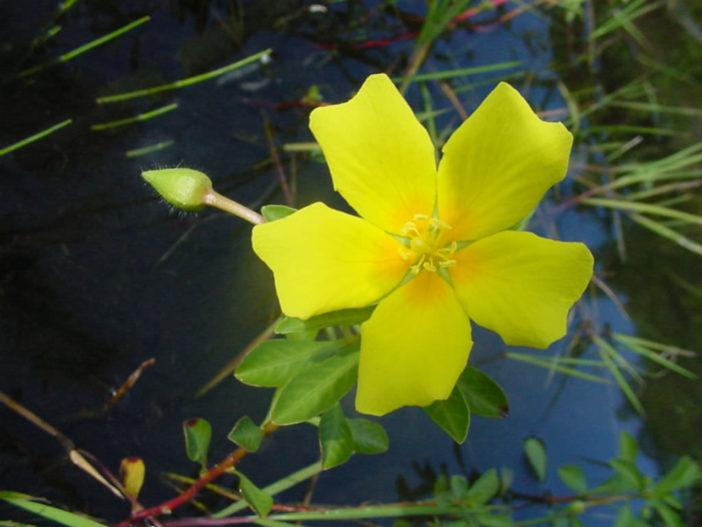 Ludwigia peploides - Floating Primrose-willow