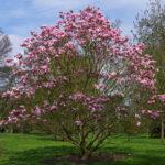 Magnolia liliiflora - Lily Magnolia