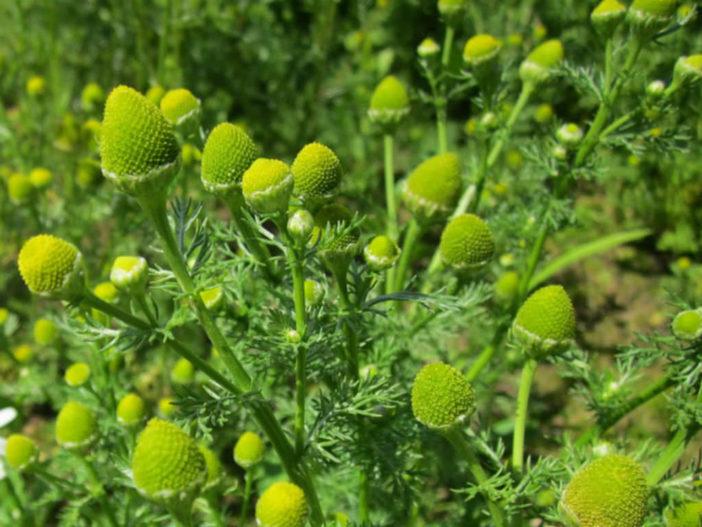 Matricaria discoidea - Pineapple Weed