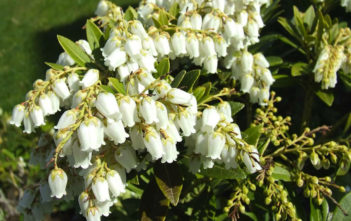 Pieris japonica - Japanese Pieris