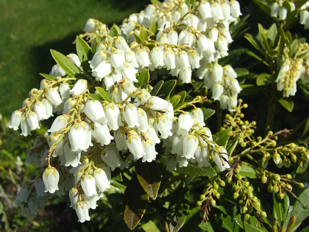 Pieris Japonica Japanese Pieris World Of Flowering Plants